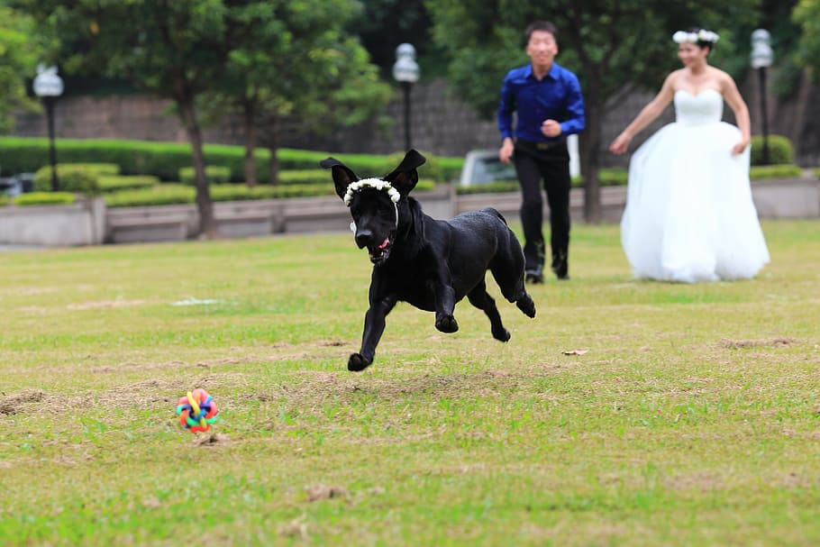 Black lab running at wedding